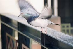 Taube im Abflug