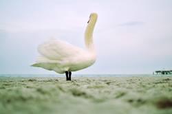 das ist ein schwan.