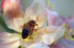Bee placid 1/4