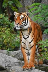 Close up full length front portrait of Indochinese tiger