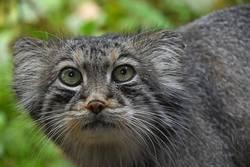 Close up portrait of manul Pallas cat
