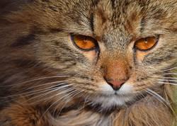 Close up portrait of brown domestic cat