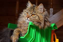 Close up portrait of domestic cat in toy truck