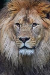 Schließen Sie herauf Porträt des männlichen Löwes Kamera betrachtend