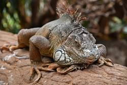 Close up portrait of green iguana resting on rocks