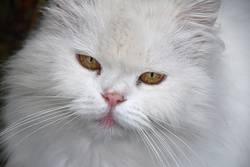 Close up portrait of white domestic cat