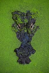 Schließen Sie herauf Porträt des Krokodils in der grünen Entengrütze