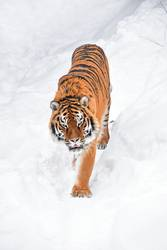 High angle view of tiger walking on snow