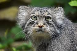 Close up Portrait von einem niedlichen Manul Pallas Katze