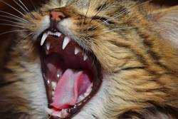 Close up portrait of domestic cat yawning