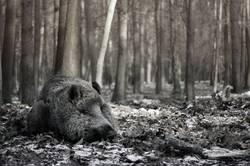 Wildschwein schläft II