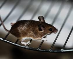 Lauf, Mäuschen!