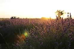 Lavendelfeld deluxe