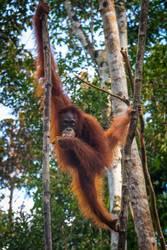 An oragutan eats bananas in a tree in Borneo