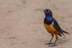 A colorful Superb Starling in Tanzania
