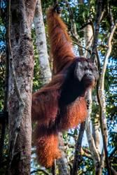 A male orangutan, stands watch in a tree