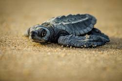 A baby sea turtle struggles for survival after hatching