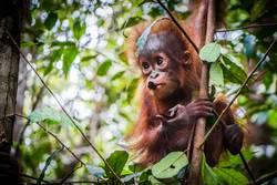 World's cutest baby orangutan hangs in a tree in Borneo