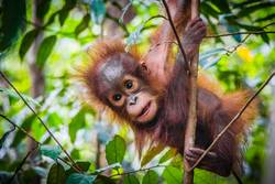 World's cutest baby orangutan hangs in a tree