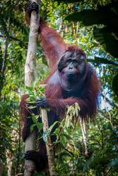 A magestic male orangutan, hanging in a tree, looks at the lens