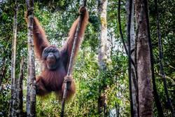 A male orangutan lounges in a tree