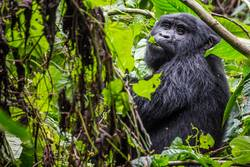 A gorilla eats leaves in the Impenetrable Forest