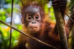 World's cutest baby orangutan looks into camera in Borneo