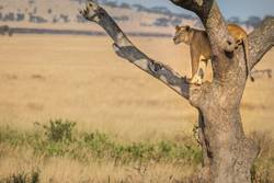 A female lion stands watch in a tree