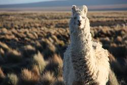 A Lama looking into the lens in the Altiplano in Bolivia