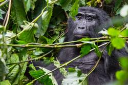 A pensive gorilla in the Impenetrable Forest