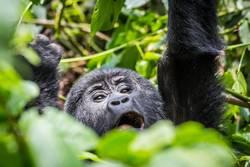 A baby gorilla screams in the impenatrable forrest of Uganda