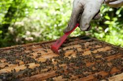 Imker schabt Honig aus einer Bienenwabe
