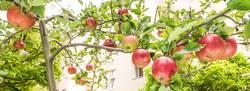 Äpfel hängen am Baum