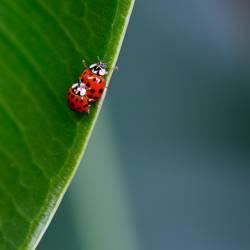 ladybird love
