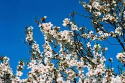 Das Blühen der Mandelbäume