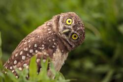 Funny Burrowing owl Athene cunicularia
