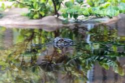 Baby Alligator peering through water in a pond
