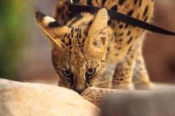 Serval cat Leptailurus serval that has been domesticated
