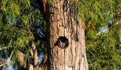 Perched inside a pine tree, an Eastern screech owl