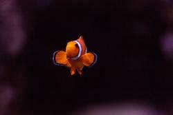 Clownfish, Amphiprioninae, in einem Meeresfisch- und Riffaquarium