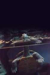 Diamondback terrapin Malaclemys terrapin turtle
