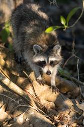 Young chubby raccoon Procyon lotor hunts for food