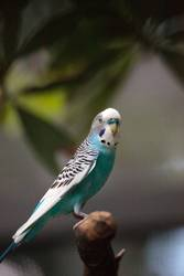 Blue and white Budgerigar parakeet bird Melopsittacus undulatus