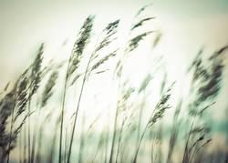 Rømø - gutes Gras