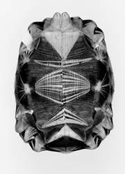 schildkrötensymmetrie