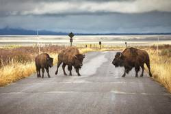 American bison family cross a road in Grand Teton National Park.