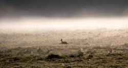 Roe deer runs across a clearing surrounded by morning fog.