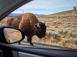 Encounter with an American bison on a road.