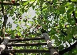 cherry cherry ladder