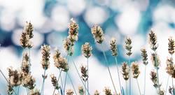 Lavendel verträumt